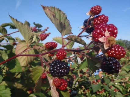 Dalton raspberries